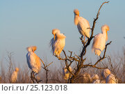 Купить «Cattle egret ((Bubulcus ibis) perched in heronry in tree. La Pampa , Argentina.», фото № 25123018, снято 12 июля 2020 г. (c) Nature Picture Library / Фотобанк Лори