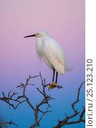 Купить «Snowy egret  (Egretta thula) perched at dusk, La Pampa, Argentina», фото № 25123210, снято 11 июля 2020 г. (c) Nature Picture Library / Фотобанк Лори
