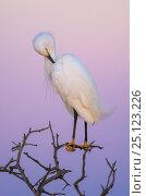 Купить «Snowy egret  (Egretta thula) preening at dusk, La Pampa, Argentina», фото № 25123226, снято 11 июля 2020 г. (c) Nature Picture Library / Фотобанк Лори