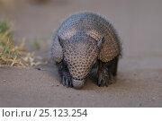 Big hairy armadillo (Chaetophractus villosus), La Pampa , Argentina. Стоковое фото, фотограф Gabriel Rojo / Nature Picture Library / Фотобанк Лори
