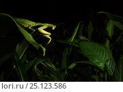 Купить «Leaf mantis (Choeradodis sp.) Tortuguero National Park, Costa Rica.», фото № 25123586, снято 17 июня 2019 г. (c) Nature Picture Library / Фотобанк Лори