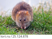 Купить «Brown rat  (Rattus norvegicus) feeding in arable field , Norfolk, England, UK, April.», фото № 25124878, снято 14 декабря 2019 г. (c) Nature Picture Library / Фотобанк Лори