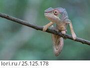 Купить «Panther chameleon (Furcifer pardalis) Ankarana National Park, Madagascar», фото № 25125178, снято 15 июля 2020 г. (c) Nature Picture Library / Фотобанк Лори