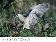 Купить «Black-crowned night heron (Nycticorax nycticorax) landing, Ankarafantsika National Park, Madagascar», фото № 25125238, снято 17 июня 2019 г. (c) Nature Picture Library / Фотобанк Лори