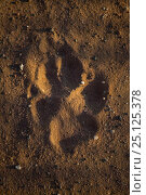 Купить «Footprint of a free-roaming African Wild Dog (Lycaon pictus) in sand on farmland bordering Mapungubwe National Park, Limpopo Province, South Africa.», фото № 25125378, снято 20 августа 2018 г. (c) Nature Picture Library / Фотобанк Лори