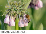 Купить «Honey bee (Apis mellifera) nectaring by inserting its proboscis through a hole it ahs chewed inthe base of a Common comfrey flower (Symphytum officinale...», фото № 25125762, снято 21 марта 2019 г. (c) Nature Picture Library / Фотобанк Лори