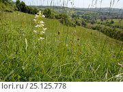 Купить «Greater butterfly orchid (Platanthera chlorantha) flowering on grassland meadow cleared of scrub to improve the habitat for bees and other pollinators...», фото № 25125778, снято 24 сентября 2018 г. (c) Nature Picture Library / Фотобанк Лори