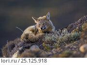 Grey fox (Lycalopex griseus) resting, Torres del Paine National Park, Chile. Стоковое фото, фотограф Gabriel Rojo / Nature Picture Library / Фотобанк Лори