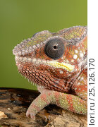 Купить «Panther chameleon (Furcifer pardalis) captive, occurs in  Madagascar», фото № 25126170, снято 17 июля 2019 г. (c) Nature Picture Library / Фотобанк Лори