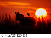 Купить «Cattle Egret (Bubulcus ibis) on back Zebra (Equus quagga) at sunrise, Rietvlei Nature Reserve,  South Africa.», фото № 25126838, снято 25 июня 2019 г. (c) Nature Picture Library / Фотобанк Лори