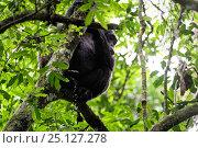 Купить «Chimpanzee (Pan troglodytes) urinating in tree, Nyungwe National Park, Rwanda, Africa», фото № 25127278, снято 25 марта 2019 г. (c) Nature Picture Library / Фотобанк Лори
