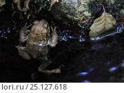 Купить «European toad (Bufo bufo) Massane River, Alberes Mountains, Pyrenees, France, September.», фото № 25127618, снято 1 апреля 2020 г. (c) Nature Picture Library / Фотобанк Лори