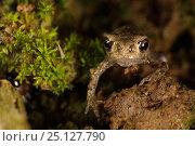Купить «European Toad (Bufo bufo) ltoadlet leaving pond, Burgundy. France, June.», фото № 25127790, снято 21 февраля 2020 г. (c) Nature Picture Library / Фотобанк Лори