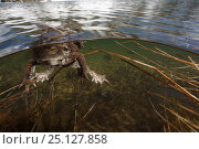 Купить «European toad (Bufo bufo) pair in amplexus in breeding pool in the Alps, France, June.», фото № 25127858, снято 31 марта 2020 г. (c) Nature Picture Library / Фотобанк Лори