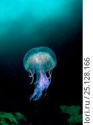 Купить «Mauve stinger (Pelagia noctiluca), Sula Sgeir, Outer Hebrides / Western Isles, Scotland, UK, July.», фото № 25128166, снято 21 августа 2019 г. (c) Nature Picture Library / Фотобанк Лори