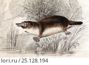 Купить «Duck billed platypus (Ornithorhynchus anatinus) engraved by W. Lizars. From 'The Natural History of Marsupialia or Pouched Animals' 1841 by G.R. Waterhouse.», фото № 25128194, снято 17 июля 2018 г. (c) Nature Picture Library / Фотобанк Лори
