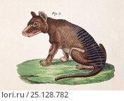 Купить «Thylacine (Thylacinus cynocephalus) plate from F.J. Beruch 'Bilderbuch fur Kinder' 1821.», фото № 25128782, снято 23 апреля 2018 г. (c) Nature Picture Library / Фотобанк Лори
