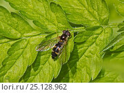 Купить «Hoverfly (Meligramma trianguliferum) Brockley Cemetery, Lewisham, London. May.», фото № 25128962, снято 22 августа 2018 г. (c) Nature Picture Library / Фотобанк Лори