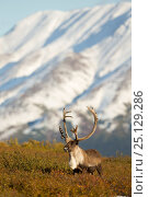 Купить «Caribou / Reindeer bull (Rangifer tarandus) grazing, Denali National Park, Alaska, USA, September», фото № 25129286, снято 24 августа 2019 г. (c) Nature Picture Library / Фотобанк Лори