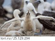 Купить «Peruvian bobby (Sula variegata) chick stretching wings at nest, guano Island, Pescadores, Peru», фото № 25129294, снято 21 июля 2018 г. (c) Nature Picture Library / Фотобанк Лори