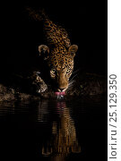 Купить «RF -  Leopard (Panthera pardus) drinking, reflected in waterhole,  Londolozi Private Game Reserve, Sabi Sands Game Reserve, South Africa.», фото № 25129350, снято 19 октября 2018 г. (c) Nature Picture Library / Фотобанк Лори