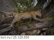 Купить «Leopard (Panthera pardus) female jumps into a tree after attacking a Spotted hyena (Crocuta crocuta) that had ventured too close to her tree that had a...», фото № 25129550, снято 24 февраля 2019 г. (c) Nature Picture Library / Фотобанк Лори