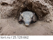 Large hairy armadillo (Chaetophractus villosus) coming out of its burrow, La Pampa, Argentina. Стоковое фото, фотограф Gabriel Rojo / Nature Picture Library / Фотобанк Лори