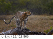 Купить «Leopard (Panthera pardus) shaking off water, Londolozi Private Game Reserve, Sabi Sands Game Reserve, South Africa.», фото № 25129866, снято 16 декабря 2019 г. (c) Nature Picture Library / Фотобанк Лори
