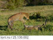 Купить «Leopards (Panthera pardus) juveniles play fighting, Londolozi Private Game Reserve, Sabi Sands Game Reserve, South Africa.», фото № 25130002, снято 5 июня 2020 г. (c) Nature Picture Library / Фотобанк Лори