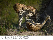 Купить «Leopard (Panthera pardus) female fighting off male after he tries to mate with her. Londolozi Private Game Reserve, Sabi Sand Game Reserve, South Africa.», фото № 25130026, снято 25 марта 2019 г. (c) Nature Picture Library / Фотобанк Лори