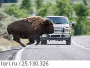 American bison (Bison bison) running in front of a tourist vehicle on the road through the Lamar Valley. Yellowstone National Park, Wyoming, USA. June. Стоковое фото, фотограф Nick Garbutt / Nature Picture Library / Фотобанк Лори