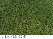 Купить «Scarlet Ibis (Eudocimus ruber) flock at Shell beach, North Guyana, South America», фото № 25130414, снято 20 марта 2019 г. (c) Nature Picture Library / Фотобанк Лори