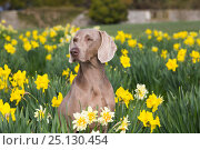 Купить «Female purebred Weimaraner sitting among Daffodils in early May, Waterford, Connecticut, USA», фото № 25130454, снято 21 мая 2018 г. (c) Nature Picture Library / Фотобанк Лори