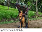 Купить «Congohound and handler used in anti-poaching activities. Virunga National Park, Democratic Republic of Congo, March.», фото № 25130926, снято 26 февраля 2020 г. (c) Nature Picture Library / Фотобанк Лори