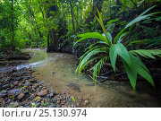Купить «(Cyclanthaceae) plants overhanging a rainforest river, Corcavado National Park, Osa Peninsula, Costa Rica.», фото № 25130974, снято 10 июля 2020 г. (c) Nature Picture Library / Фотобанк Лори
