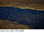 Купить «Aerial view of Blue-winged teal (Anas discors) flock flying with Great Blue Heron (Ardea herodias) on the ground, Everglades National Park, Florida, USA, January.», фото № 25131054, снято 27 января 2020 г. (c) Nature Picture Library / Фотобанк Лори