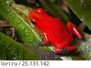 Купить «Strawberry poison frog (Oophaga pumilio) Central Caribbean foothills, Costa Rica», фото № 25131142, снято 10 мая 2020 г. (c) Nature Picture Library / Фотобанк Лори