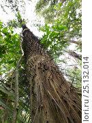 Купить «Bactris palm (Bactris sp) viewed from below, Barro Colorado Island, Gatun Lake, Panama Canal, Panama.», фото № 25132014, снято 20 января 2019 г. (c) Nature Picture Library / Фотобанк Лори
