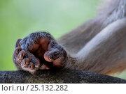Купить «Toque macaque (Macaca sinica) close up of two hands. Yala National Park, Southern Province, Sri Lanka.», фото № 25132282, снято 21 января 2019 г. (c) Nature Picture Library / Фотобанк Лори