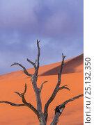 Купить «Ancient dead Camelthorn tree (Vachellia erioloba) in Deadvlei, Sossusvlei Salt Pan, Namib Naukluft National Park, Namibia», фото № 25132350, снято 23 марта 2019 г. (c) Nature Picture Library / Фотобанк Лори