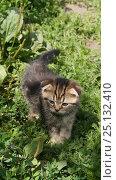 Купить «Котенок в траве», фото № 25132410, снято 5 июля 2014 г. (c) Юлия Бобровских / Фотобанк Лори