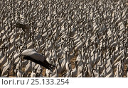 Купить «Demoiselle crane (Anthropoides virgo) gathering of large number of cranes in a chugga ghar (bird feeding enclosure) during annual migration. Khichan, Western Rajasthan, India. February.», фото № 25133254, снято 16 января 2018 г. (c) Nature Picture Library / Фотобанк Лори