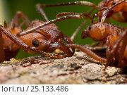Купить «Leaf Cutter ant (Atta sp.) killing another ant. Guadeloupe National Park, Guadeloupe, Leeward Islands.», фото № 25133486, снято 17 июня 2019 г. (c) Nature Picture Library / Фотобанк Лори