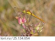 Купить «Common darter (Sympetrum striolatum) female profile, Sutcliffe Park Nature Reserve, Eltham, London, UK August», фото № 25134054, снято 16 октября 2019 г. (c) Nature Picture Library / Фотобанк Лори
