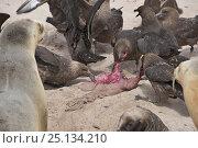 Купить «Brown skuas (Catharacta skua) feeding on afterbirth from Hooker's sealion (Phocarctos hookeri) Enderby Island.  Subantarctic New Zealand. January», фото № 25134210, снято 15 июля 2020 г. (c) Nature Picture Library / Фотобанк Лори