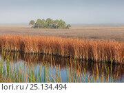 Купить «Swamp sawgrass (Cladium mariscus) prairie and Cabbage palm (Sabal palmetto) Island in mist, Big Cypress National Preserve, Everglades, Florida, USA, January 2015.», фото № 25134494, снято 19 августа 2018 г. (c) Nature Picture Library / Фотобанк Лори