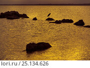 Купить «Lake Sibhayi at sunset with Grey heron (Ardea cinerea)  silhouetted on rocks,  Maputaland KwaZulu-Natal South Africa.», фото № 25134626, снято 11 июля 2020 г. (c) Nature Picture Library / Фотобанк Лори