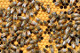 European worker honey bees (Apis mellifera) on honeycomb feeding larvae in cells. Lorraine, France. August., фото № 25134806, снято 18 июля 2017 г. (c) Nature Picture Library / Фотобанк Лори