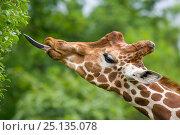 Купить «Giraffe (Giraffa camelopardalis) feeding, tongue extended captive», фото № 25135078, снято 22 января 2019 г. (c) Nature Picture Library / Фотобанк Лори