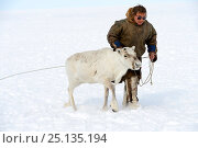 Купить «Nenet herder with Reindeer (Rangifer tarandus) in Yar-Sale district, Yamal, Northwest Siberia, Russia. April 2016.», фото № 25135194, снято 19 июля 2019 г. (c) Nature Picture Library / Фотобанк Лори
